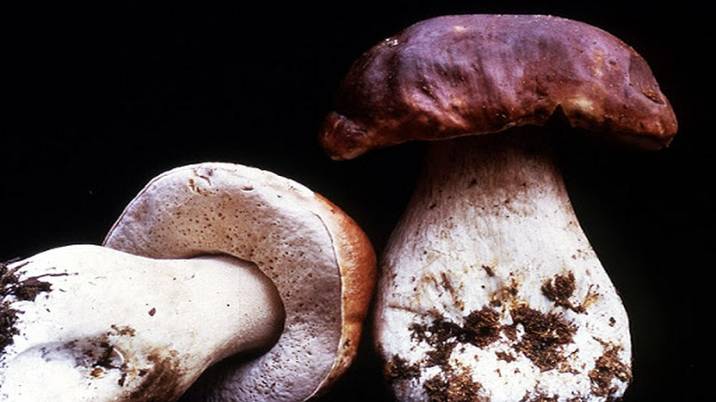 Edible Mushrooms: Nature's Most Researched Anti-Cancer Agent